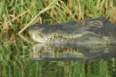 Big Male Crocodile