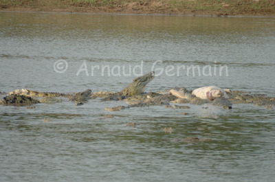 Crocodiles Feeding on Hippo Carcass