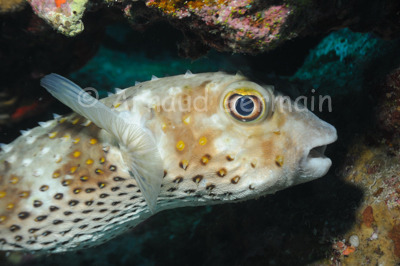 Yellowspotted Burrfish Portrait (Diodon)