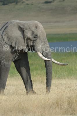 Old Elephant Bull