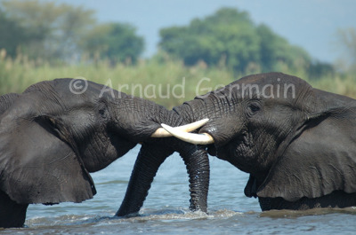 Male Elephants Playing in the River