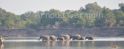 Elephant Herd Crossing Luangwa River