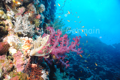 Soft Coral on Elphinstone Reef