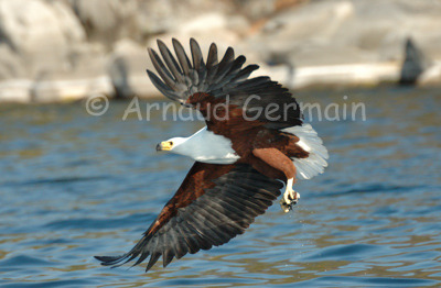 Fish Eagle with fish