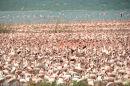 Flamingo colony