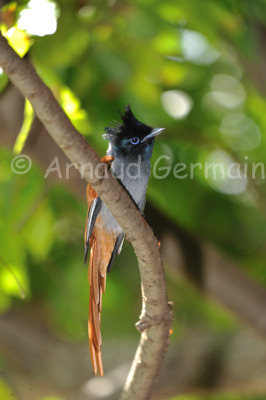Male Paradise Flycatcher