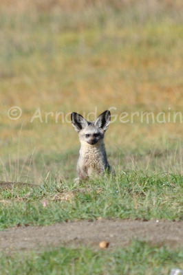 Bat Eared Fox Portrait