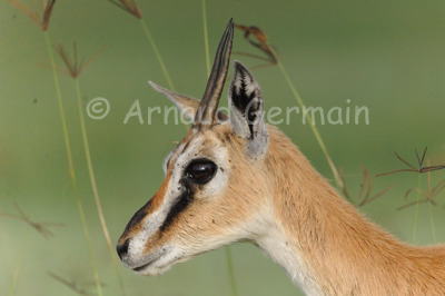 Thompson Gazelle Portrait