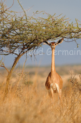 Gerenuk Under Acacia Tree