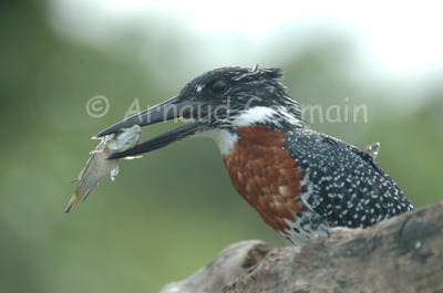 Giant Kingfisher with Fish
