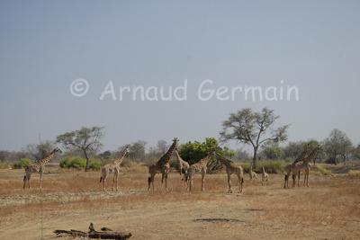 Thornicroft Giraffe Herd