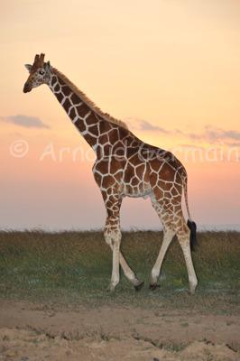 Reticulated Giraffe at Sunrise