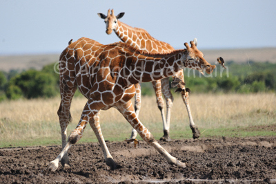 Reticulated Giraffe Drinking