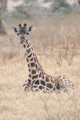 Baby Rothschield Giraffe Sleeping