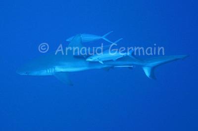 Grey Reef Shark and Rainbow Jacks