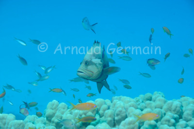 Redmouth Grouper