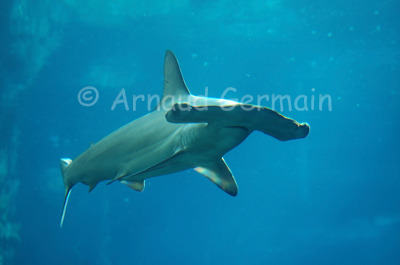 Young Hammerhead Shark