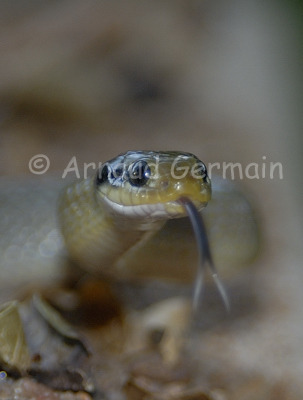 Herald Snake Close-up