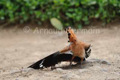 African Hoopoe Parading