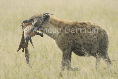Hyena and Meal