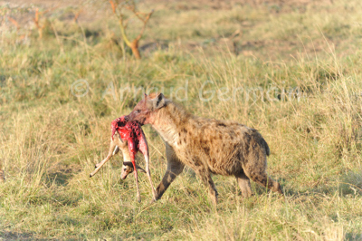 Spotted Hyena with Thompson Gazelle Kill