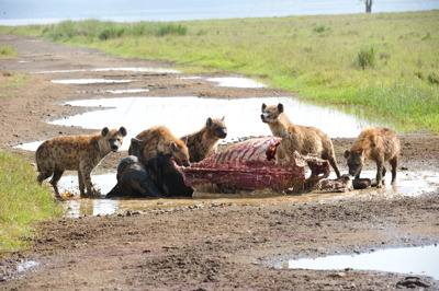 Spotted Hyena Breakfast