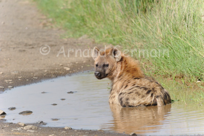 Spotted Hyena Bath