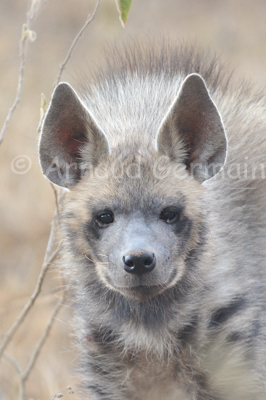 Striped Hyena Portrait