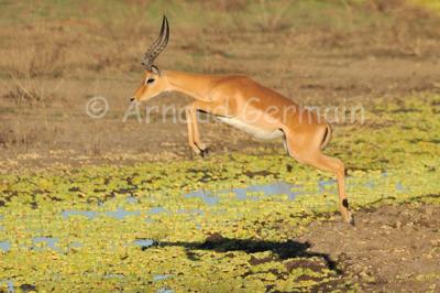 Male Impala Jumping