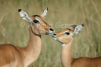 Impalas Kissing
