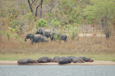 Elephants and Hippos at Lifupa