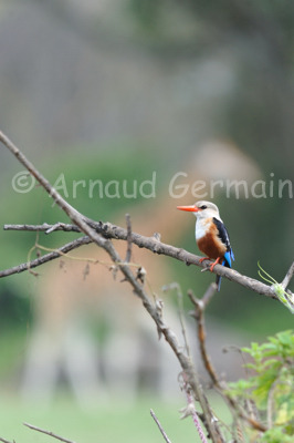 Grey Headed Kingfisher and Giraffe