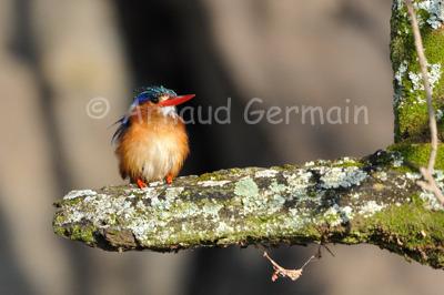 Malachite Kingfisher on Perch