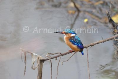 Juvenile Malachite Kingfisher on Perch