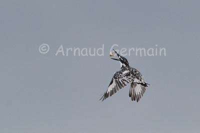 Pied Kingfisher Juggling
