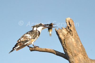 Pied Kingfisher with Breakfast