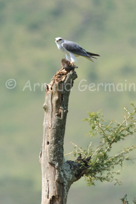 Black Shouldered Kite and Meal