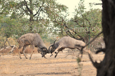 Male Kudus Fighting