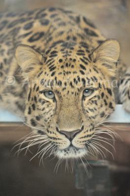 Davidoff the Amur Leopard