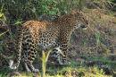 Leopard in Day Light