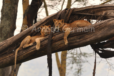 Young Lions up a Tree
