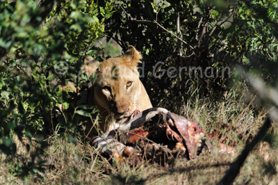 Lioness's Breakfast