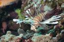 Lion Fish Display