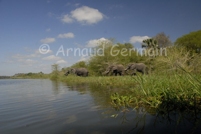 Elephants Coming to Drink in the Shire River