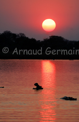 Hippo Yawning at Sunset