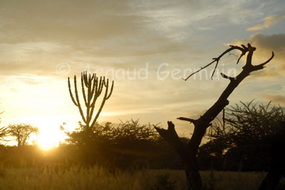 Candelabra Tree at Sunrise