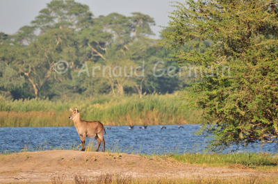 Waterbuck by the Shire River