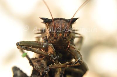 Locust portrait
