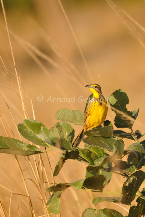 Yellow Throated Longclaw