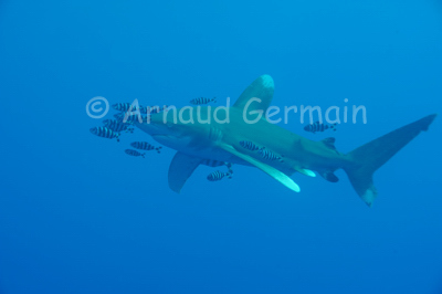 Oceanic whitetip shark in the blue.